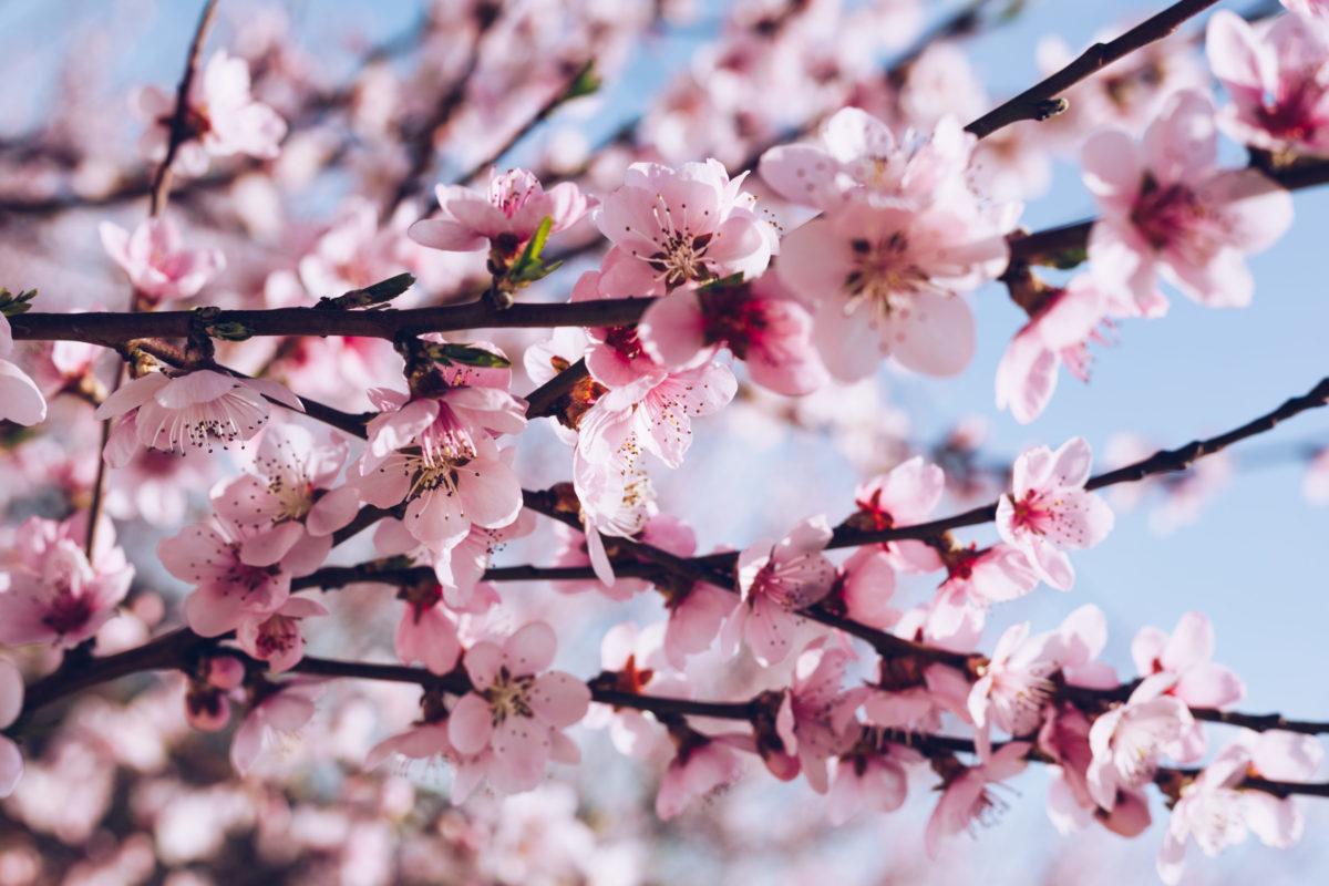 Robins Financial Credit Union sponsors Cherry Blossom Pins